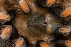 Mexican redknee tarantula shedding it`s skin, Brachypelma smithi. Macro Stock Photography