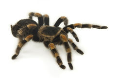 Mexican Redknee Tarantula on White Stock Images