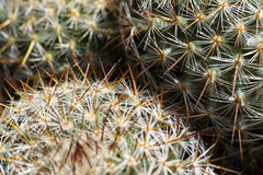 Mexican Round Cactus. Detail to a cactus thorns royalty free stock photos