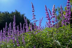 Mexican Sage Bush. Against bright blue background growing in the Royal Botanic Gardens Sydney Australia stock photos