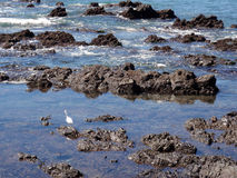 Mexican Sea Birds look for food in the tide Stock Image