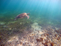 Mexican Sea Turtle underwater swimming Acumal bay Royalty Free Stock Photos