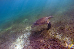 Mexican Sea Turtle underwater swimming Acumal bay 2 Royalty Free Stock Photos
