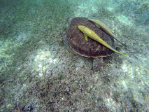 Mexican Sea Turtle underwater swimming Acumal bay 4 Stock Images
