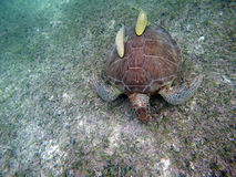 Mexican Sea Turtle underwater swimming Acumal bay 8 Stock Photo