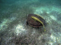 Mexican Sea Turtle underwater swimming Acumal bay 5 Stock Image