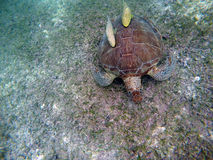 Mexican Sea Turtle underwater swimming Acumal bay 7 Royalty Free Stock Photo
