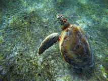 Mexican Sea Turtle underwater swimming on the ground. In Cancun Acumal bay stock image