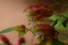 Mexican shrimp plant. Beautiful exotic flower Mexican shrimp plant Stock Images