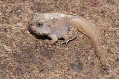 Mexican spadefoot toad. Freshly metamorphosed tadpole of Spea multiplicata Stock Photo