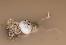 Mexican spadefoot toad. Male of Spea multiplicata calling in breeding pond Stock Images