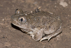 Mexican spadefoot toad. Male Mexican Spadefoot toad (Spea multiplicata) heading to breeding pond Stock Photos