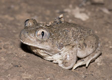 Mexican spadefoot toad. Male Mexican Spadefoot toad (Spea multiplicata) heading to breeding pond Stock Photography