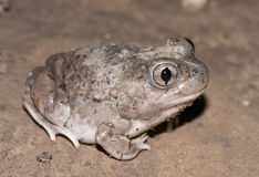 Mexican spadefoot toad. Male Mexican Spadefoot toad (Spea multiplicata) with soil covering its body Stock Image