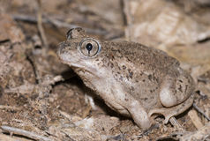 Mexican spadefoot toad. Male Mexican Spadefoot toad (Spea multiplicata) with soil covering its body Stock Images