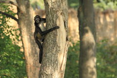 Mexican spider monkey Royalty Free Stock Image