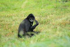 Mexican spider monkey Royalty Free Stock Images