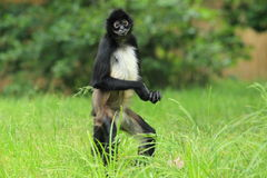 Mexican spider monkey Stock Image