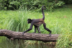 Mexican spider monkey Royalty Free Stock Photography