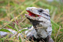 Mexican spiny-tailed iguana. A close-up of a mexican spiny-tailed iguana eating grass Royalty Free Stock Photography