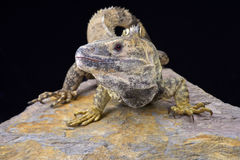 Mexican spiny-tailed iguana (Ctenosaura pectinate) Stock Photos