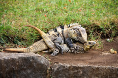 Mexican spiny-tailed iguana during a mating period. Two Mexican spiny-tailed iguanas, a male and a female during a mating period Royalty Free Stock Photography