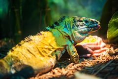 Mexican Spinytail Iguana Royalty Free Stock Photography