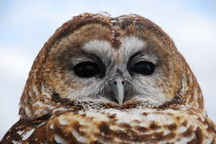 Mexican Spotted Owl Royalty Free Stock Photos