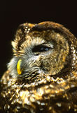 Mexican Spotted Owl Portrait Stock Images