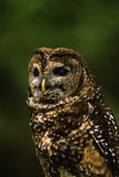 Mexican Spotted Owl Portrait Stock Image