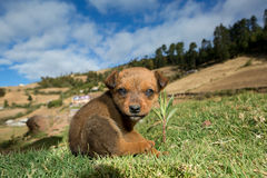 Mexican stray dog puppy Royalty Free Stock Photography