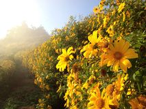 Mexican sun flowers Royalty Free Stock Photo