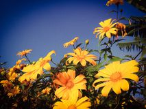 Mexican sun flowers Royalty Free Stock Photos