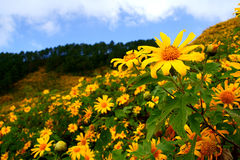 Mexican Sunflowe. This is Mexican Sunflowe. It is located in the north of Thailand.You can see it in December of each year stock photography