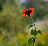Mexican Sunflower 0146 Stock Image