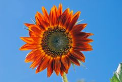 Mexican Sunflower Stock Photos