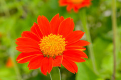 Mexican Sunflower Royalty Free Stock Photo