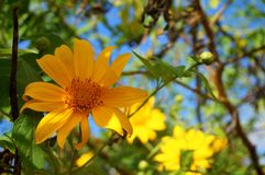 Mexican sunflower. In bloom Royalty Free Stock Photography
