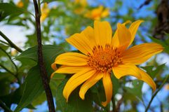 Mexican sunflower. In bloom Royalty Free Stock Image