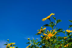 Mexican sunflower. Bloom in clear blue sky Royalty Free Stock Photography