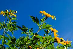 Mexican Sunflower. Bloom in clear blue sky Royalty Free Stock Image