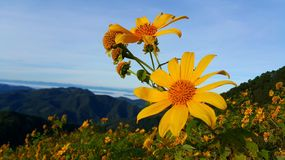 Mexican Sunflower. Blooming on Doi Mae U-Kor, Mae Hong Son ( Bua Thong flowers at Doi Mae U-Kor), Thailand Stock Images