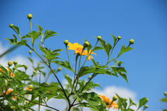 Mexican sunflower. And blue sky background royalty free stock images