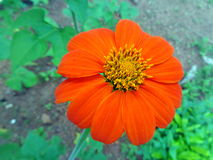 Mexican Sunflower Stock Image