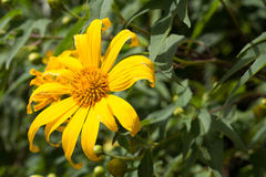 Mexican sunflower. A close up Mexican sunflower in sunshine day Royalty Free Stock Image