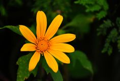 Mexican sunflower close-up view royalty free stock image