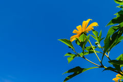 Mexican sunflower. Bloom in clear blue sky Stock Photography