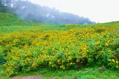 Mexican sunflower field blooms in the mountains stock photography