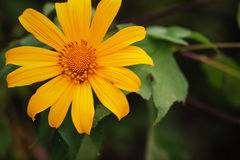 Mexican sunflower Stock Photos