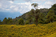 Mexican sunflower. Field in Thailand Stock Photography